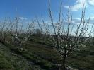 Gyümölcsfák_2