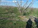Gyümölcsfák_6